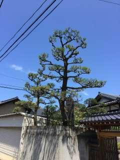 pruning-pine